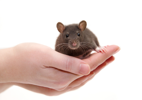 Un estudio de ratones sugiere que el candidato a terapia génica es prometedor para corregir la enfermedad de Pompe en los músculos y el cerebro
